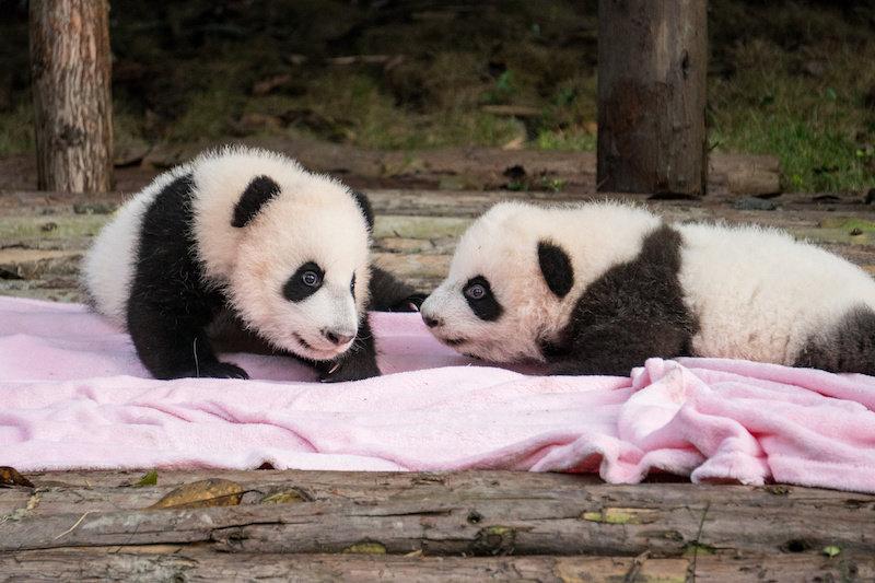 Почему гигантские панды рождаются такими маленькими?