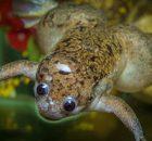 Живые роботы, построенные с использованием клеток лягушек