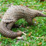 Недостающим звеном в прыжке коронавируса с летучих мышей на человека могут быть панголины, а не змеи