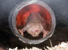 Голым кротовым крысам нужен углекислый газ, чтобы избежать приступов, и вот почему