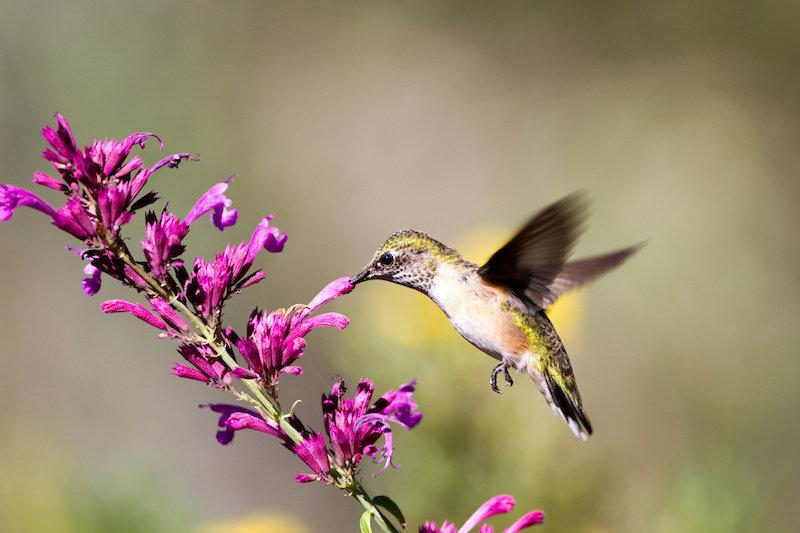 Захватывающий вид с высоты птичьего полета? Колибри видят разнообразные цвета, которые люди могут только представить