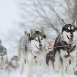 Ездовые собаки тесно связаны с 9500-летней «древней собакой»