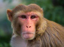 Люди и обезьяны демонстрируют сходные модели мышления