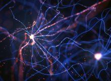 Нейроны генетически запрограммированы на долгую жизнь