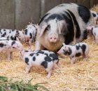 Свиньи, поедающие рибай, демонстрируют качество белка для человека