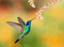 Как жужжат колибри