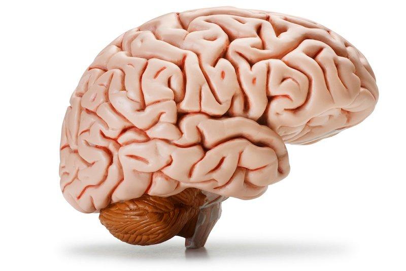 Как люди развивают мозг большего размера, чем другие обезьяны