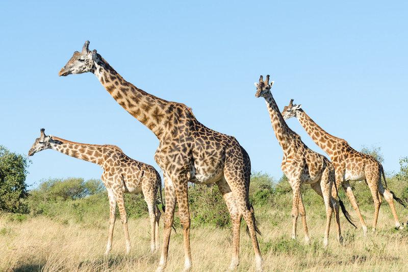 Исследование показало, что жирафы столь же сложны в социальном плане, как и слоны